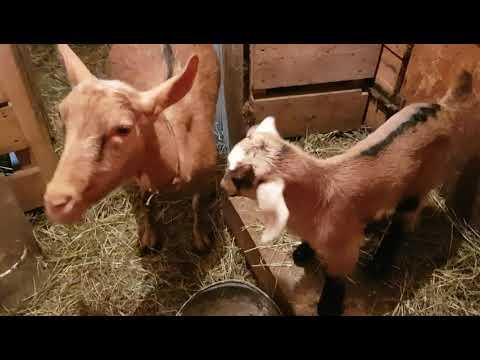 Чешская порода коз – описание ухода