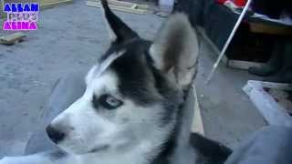 Будка для сибирской хаски / Dog house Husky 3-я часть