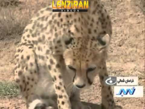 Tourists visit  home of Asian Cheetah in Eastern Iran