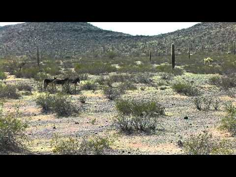 dancing  with burros.MP4
