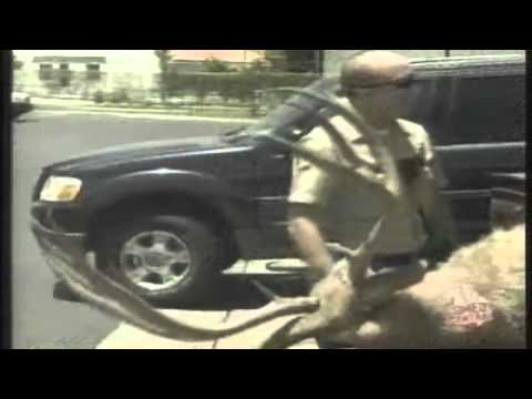 0 Deer prank Fake Deer Hunters strap a deer to hood of a car (Hilarious)