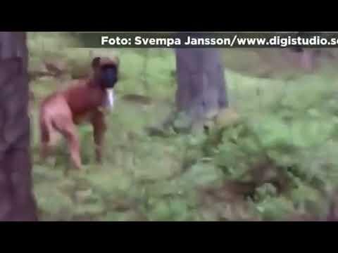 O melhor cão de caça do mundo