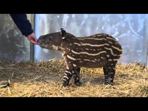 Baird's Tapir Explores His Exhibit