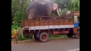 Free Download WhatsApp Video How Elephant Get Into Truck   Amazing by TUSHAR