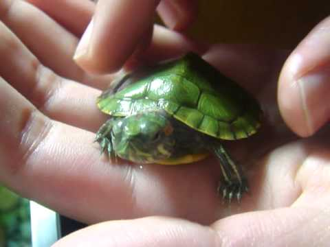 My baby red-eared slider turtle!