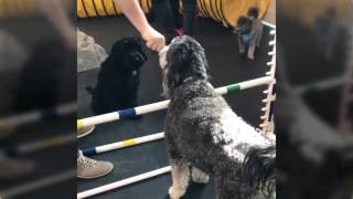 Ensinando cachorro a pular obstáculo - Dog Fail