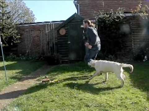 golden retriever puppy running. golden retriever pup#39; in