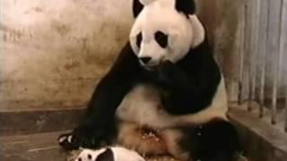 download lagu The Sneezing Baby Panda gratis