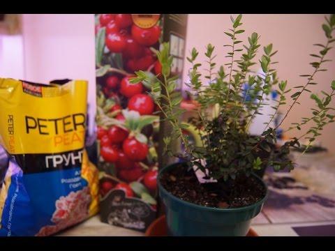 Клубника(земляника садовая) клери после поднятия агроволокна радует глаз
