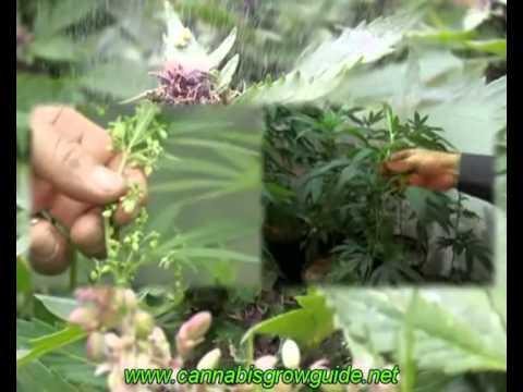 Jorge Cervantes Ultimate Grow DVD 1 Part 5 - Learn How To Grow Marijuana