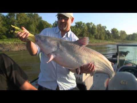 How to Catch Big Low Water Blue Cats