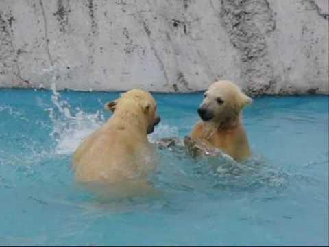 水中バトル (札幌円山動物園のホッキョクグマの赤ちゃん)