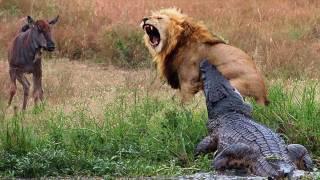 من الأقوي الاسد أو التمساح سؤال يستحق التفكير !!