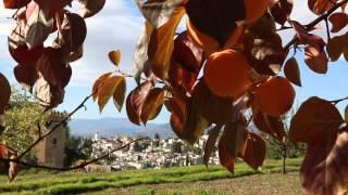 El caqui, planta del mes de Noviembre en la Alhambra