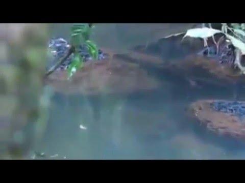 Mancing Ikan Monster Di Aliran Sungai Kecil dan Jernih Di Tengah Hutan