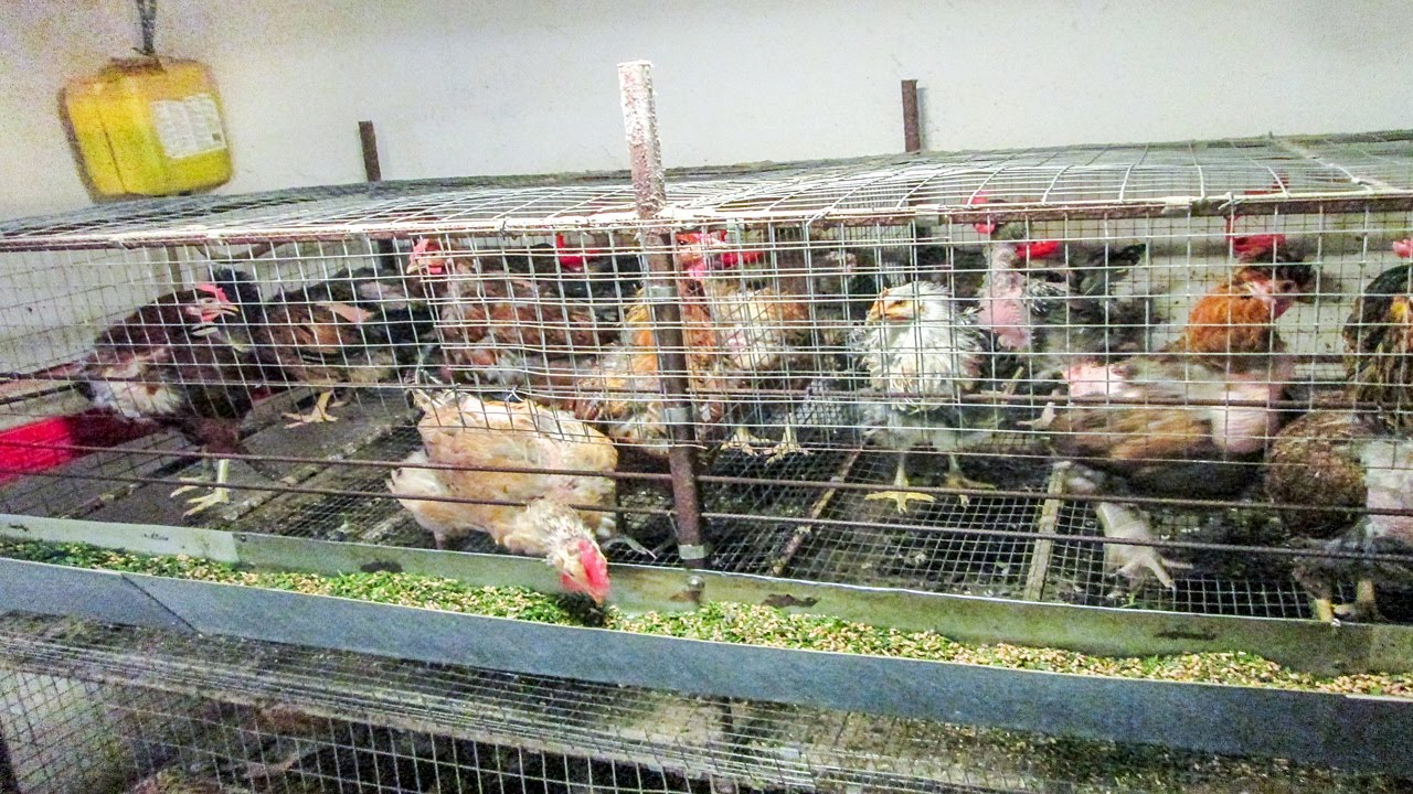 Содержание куриц несушек в домашних условиях 165