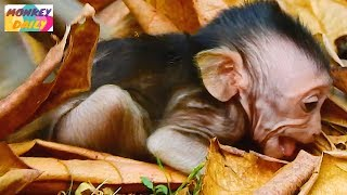 Why Dolly and Sasha monkey doing like this to newborn Jessie|So pity baby cry loudly|Monkey Daily199