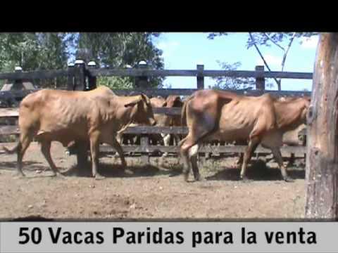 50 VACAS PARIDAS PARA LA VENTA