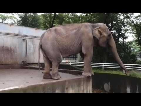 2016.6.25 宇都宮動物園☆象の宮ちゃん【Elephant】_01