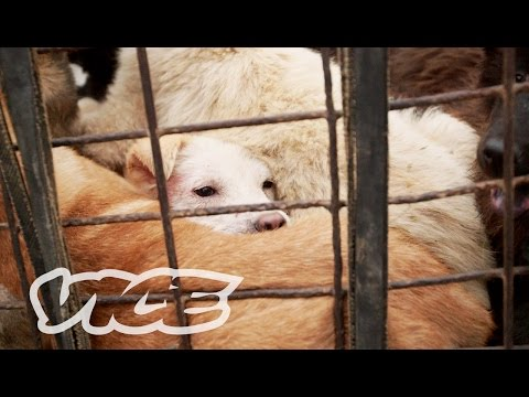 Dining on Dogs in Yulin: VICE Reports [Part 2/2]