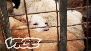 Dining on Dogs in Yulin: VICE Reports (Part 2/2)