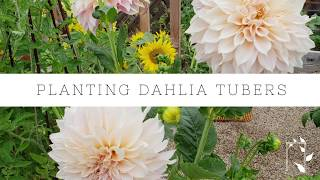How to Plant Dahlia Tubers | Growing Dahlias | Gardening Tips | Tuber Planting