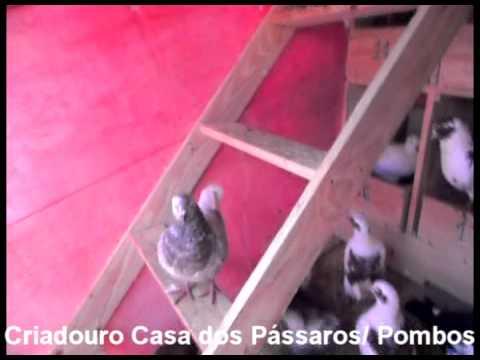 Criadouro Casa dos Pássaros: Pombos King e Mondaine