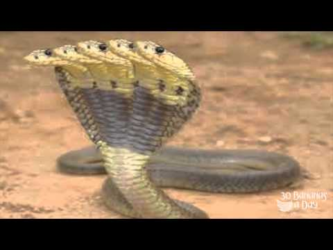 5 Headed Cobra Discovered In Thailand April 2014 video