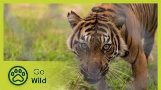 Sumatras Last Tigers - The Secrets of Nature