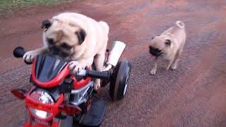 シュールに乗りこなすパグ犬。