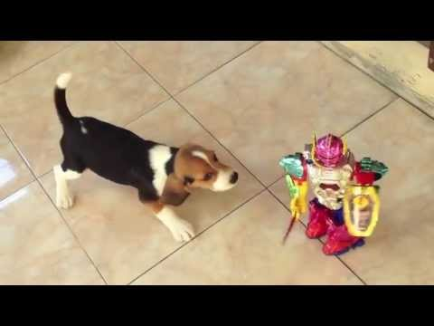 puppy beagle barking at the toy   youtube