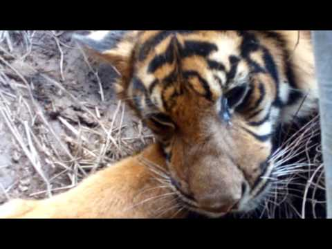 Proses evakuasi harimau sumatra yang terjerat di nagari mandeh