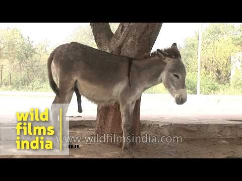 A Pair Of Donkeys On The Streets Of Gujarat video