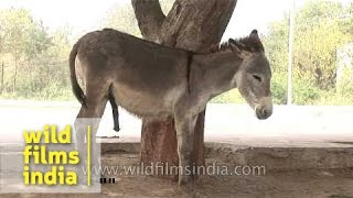 Download A pair of donkeys on an Indian street 3Gp Mp4