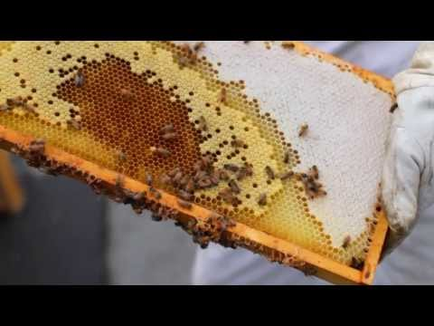 Honey Bees - Auto West BMW combats CCD (Colony Collapse Disorder)