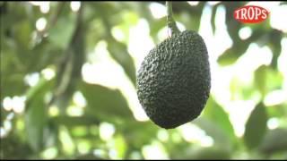 Cultivo aguacate y mango Trops