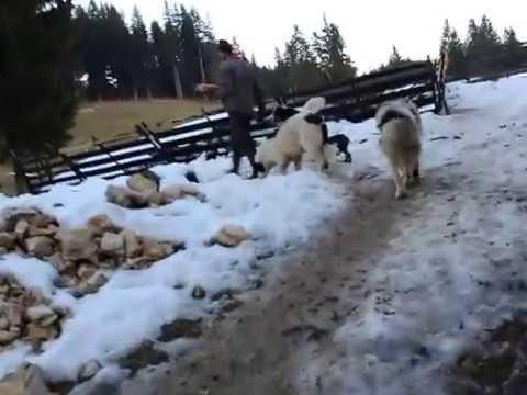 Tornjak sa Vlasica - Halil Sefer 2 (12. 2015.)