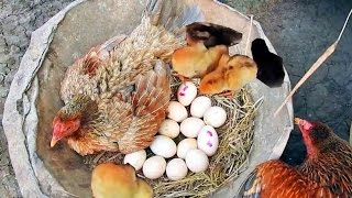 Hen Harvesting Eggs to Chicks - Chicken country eggs to born new chicks # Fish Cutting