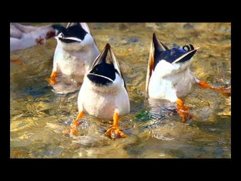 Raffi - Ducks like Rain