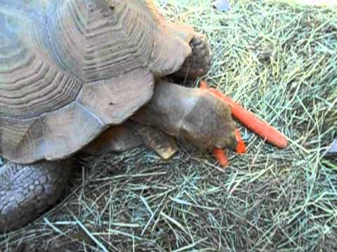 Giant Tortoise eating Carrots
