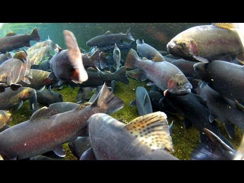 Manchester state trout hatchery manchester iowa for Iowa fish hatcheries