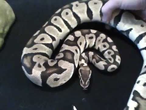 Choosing Your First Pet Snake