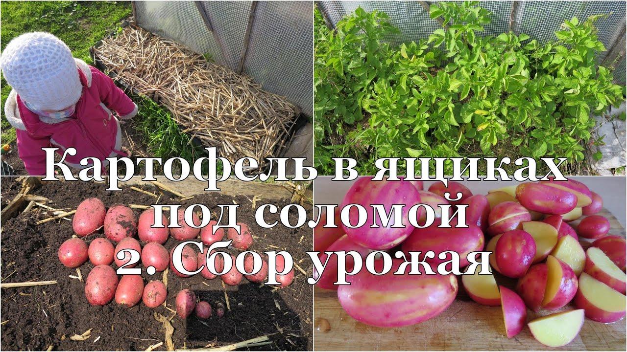 Выращивание картофеля с умом без прополки и окучивания 45
