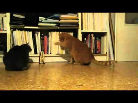 videos graciosos de gatos