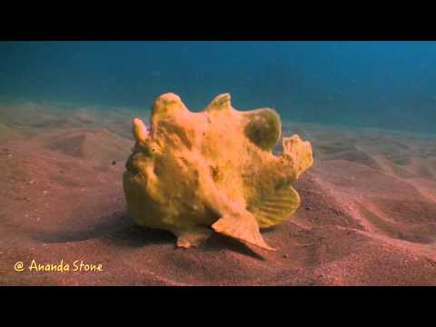 泳ぎが下手で歩く変な魚。カエルアンコウ(イザリウオ)