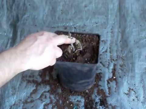 Sadnja rajčice u posudu za cvijeće
