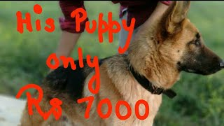7000rs only male gsd puppy