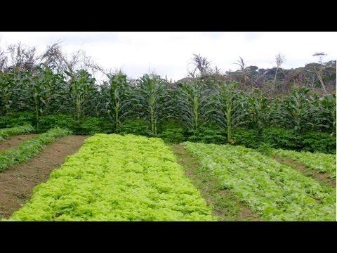 Clique e veja o vídeo Cultivo Orgânico de Hortaliças - Adubação Verde