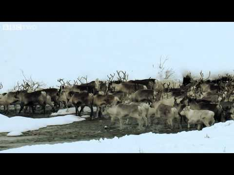 Herding Reindeer on Snowmobiles - Arctic with Bruce Parry, Episode 5 - BBC Two