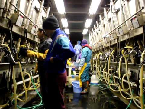 Marlon Ranchez in Japan Dairy Farm